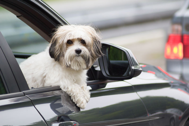 Tips to Keep Your Dog Safe While Driving